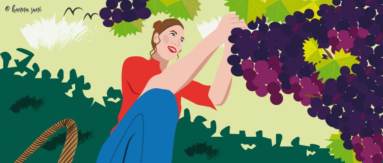 Wine-harvest-hanna-suni